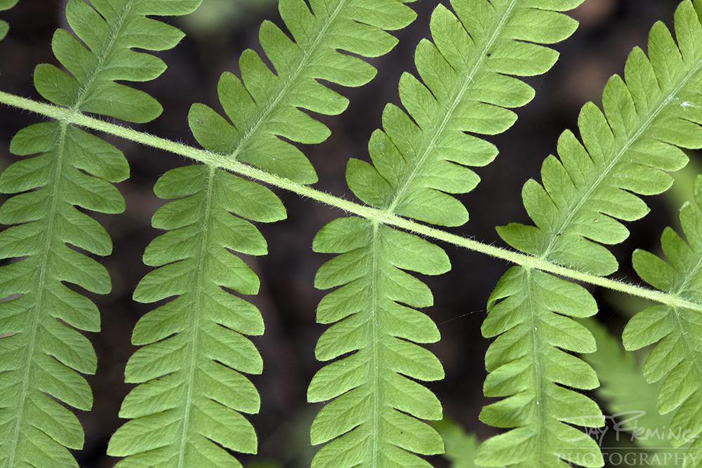 Thelypteris noveboracensis, the New York fern, along the shores of Lake Martin, Louisiana.
