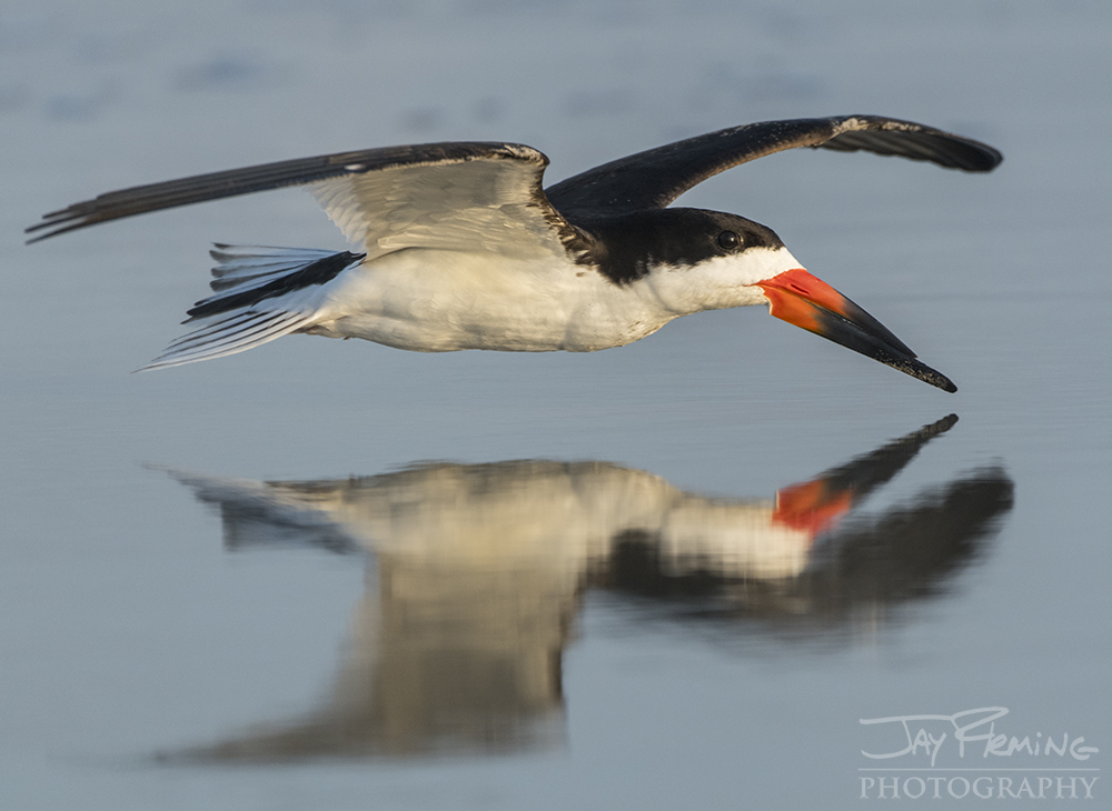 Thousands of Black Skimmers utilize the remote beaches of Virginia's Barrier Islands for nesting grounds during the summer months.