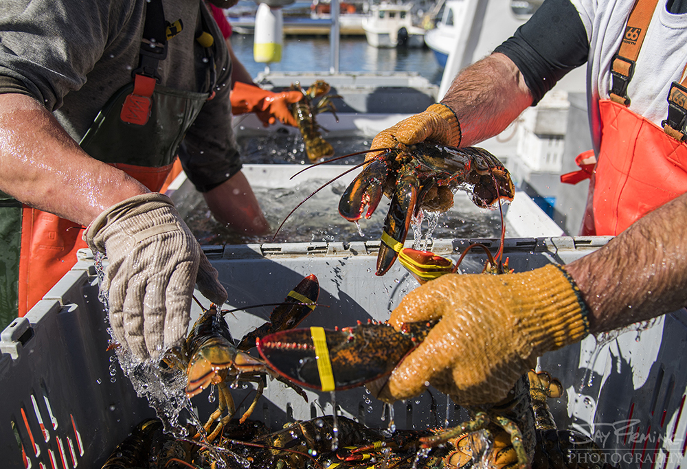Lobster being unloaded from a workboat's holding tank into the Cranberry Isles Fisherman's Co-Op holding containers.