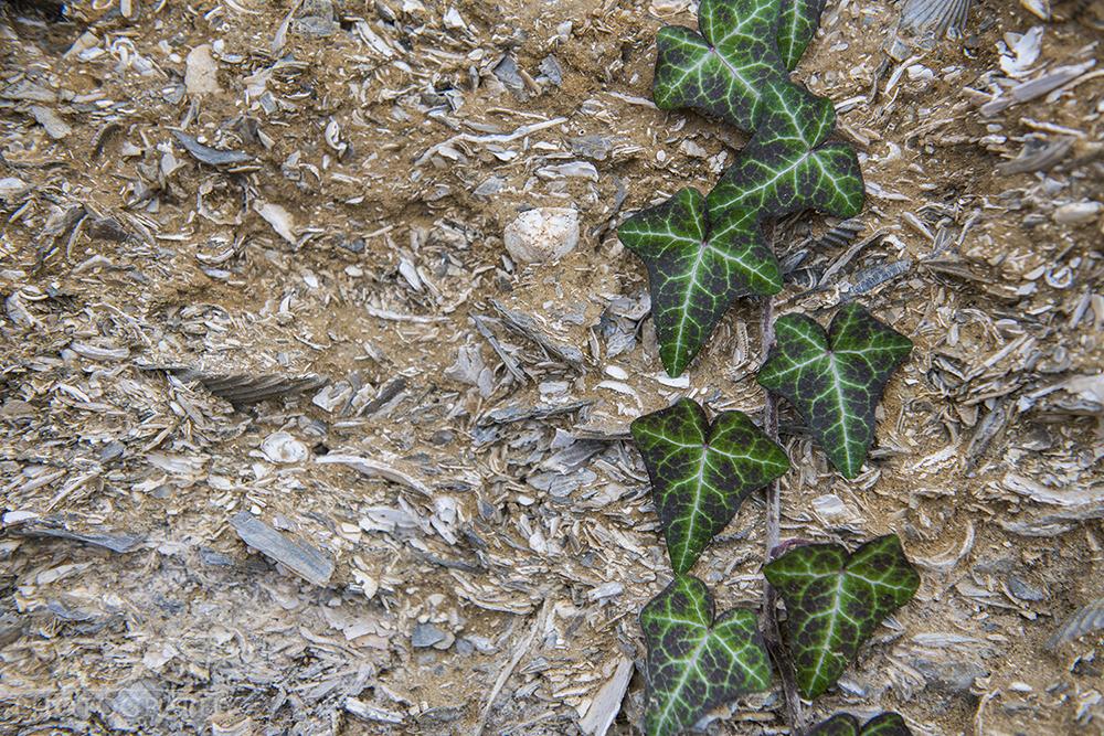 Chesapeake Bay Fossil © Jay Fleming04.jpg
