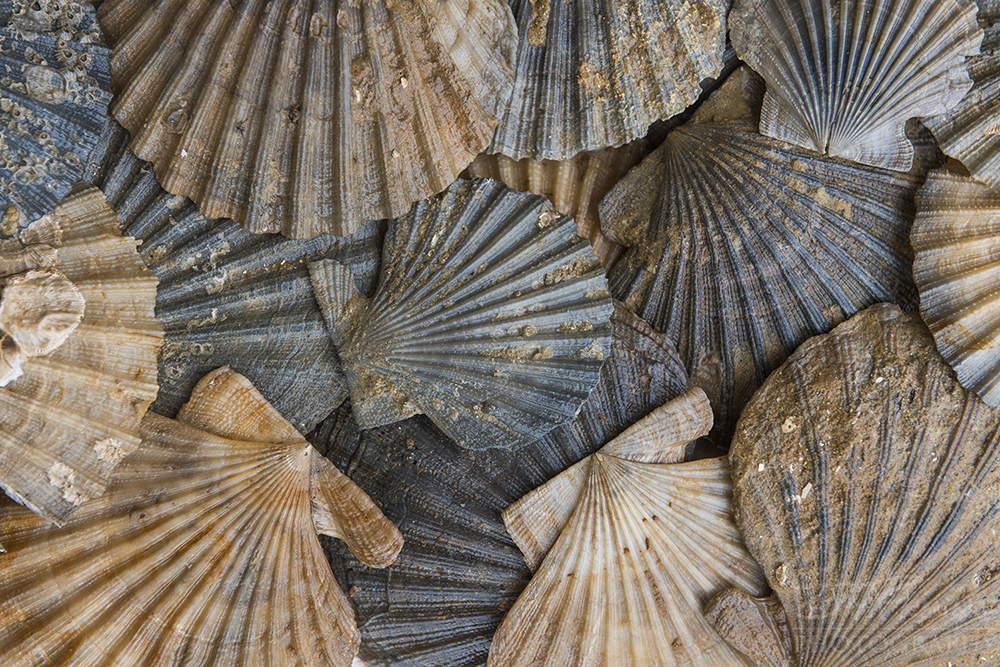 Chesapeake Bay Fossil © Jay Fleming05.jpg