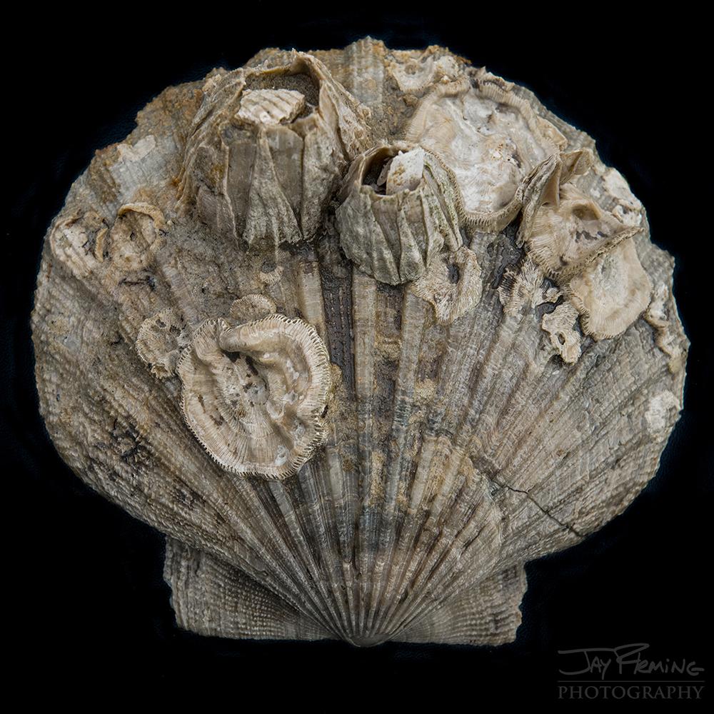 Chesapeake Bay Fossil © Jay Fleming06.jpg