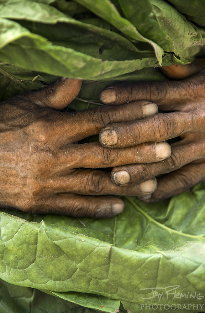 Detail of a farm workers hands as he transports a bundle of tobacco leaves.