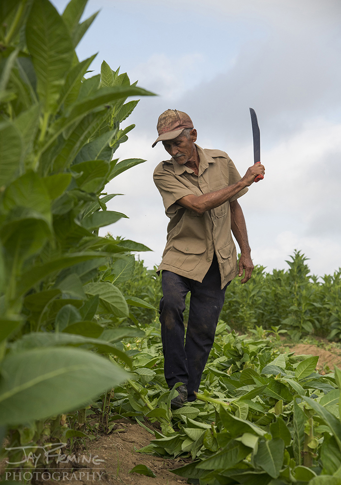 Cutting tobacco plants that have finished producing marketable leaves. After tobacco crops are finished, corn is traditionally planted.