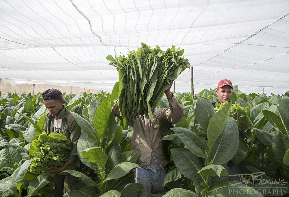 Laborers at a 'capa' farm pick tobacco leaves. Capa farms use a shade-cloth to diffuse the sunlight that reaches the plants to create a finer leaf that is used for the outside wrapper of a cigar.