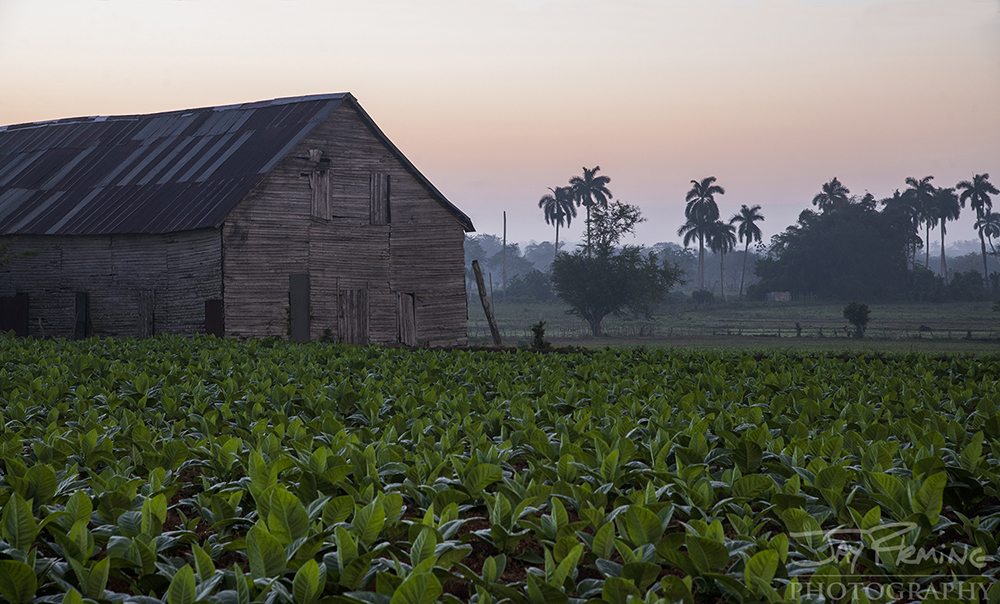 Tobacco plantation just outside of San Luis at dawn.