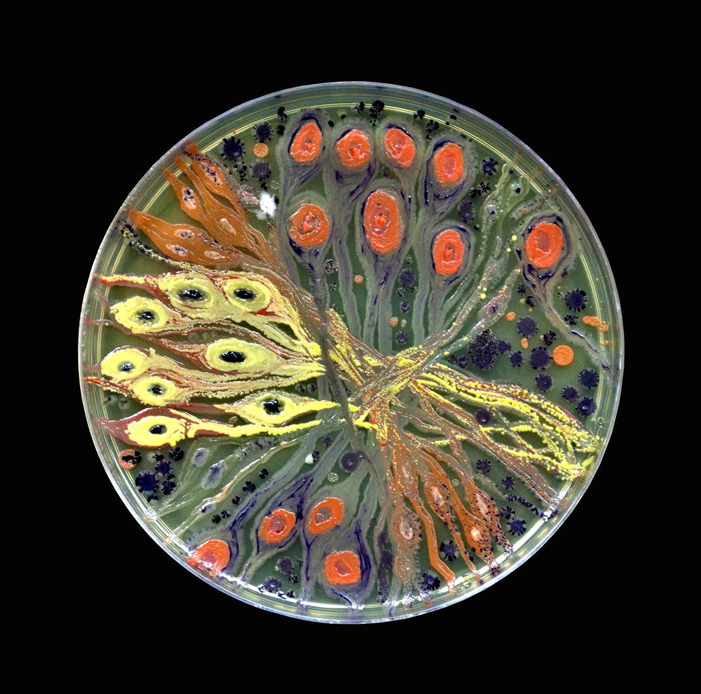 Penil Cobo,  Neuro Study , Microbes in agar