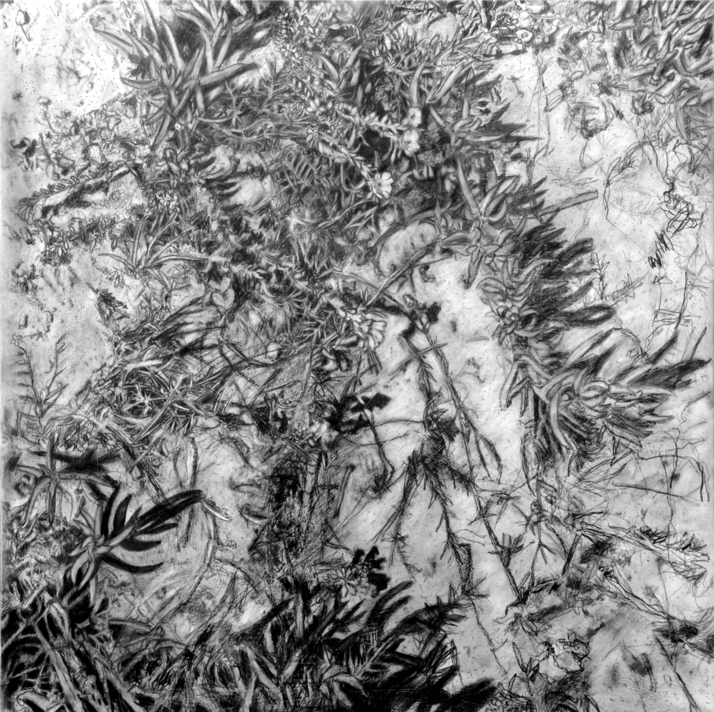 Jim Banks,  Ice Plant 1,  Graphite on board, 18x18