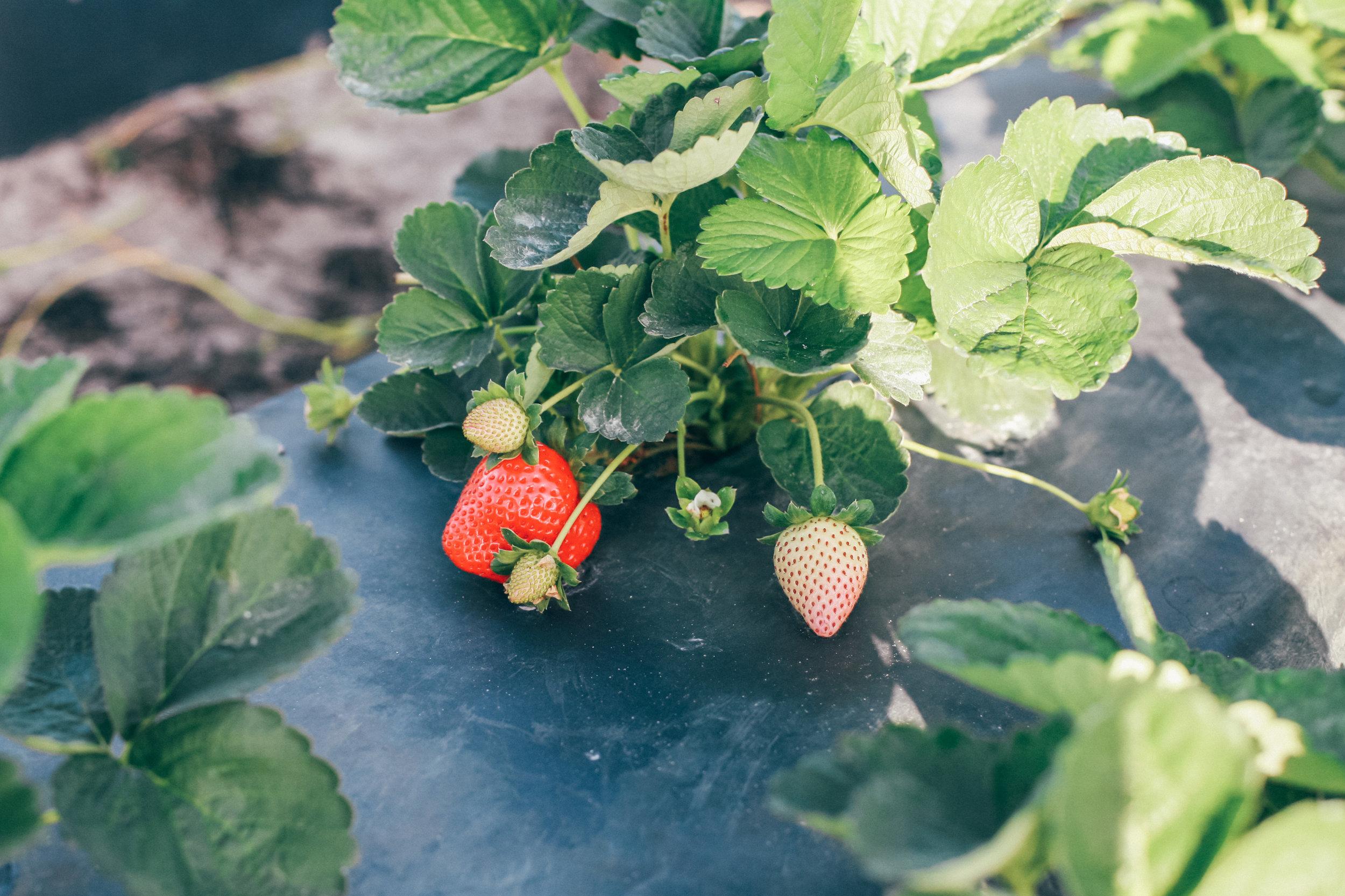 This Jenn Girl - Florida Strawberries 3