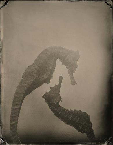 Hippocampi-1.jpg
