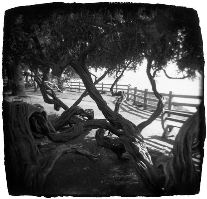 Twisted Tree, Los Angeles