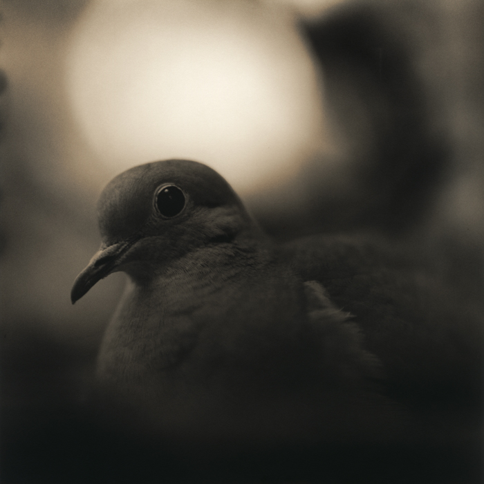 Mourning Dove, 2010