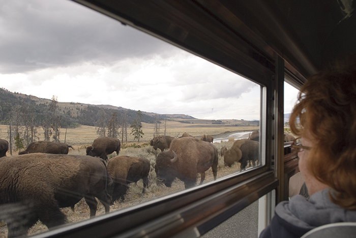 Buffalo on Road in Lamar Valley, 2008