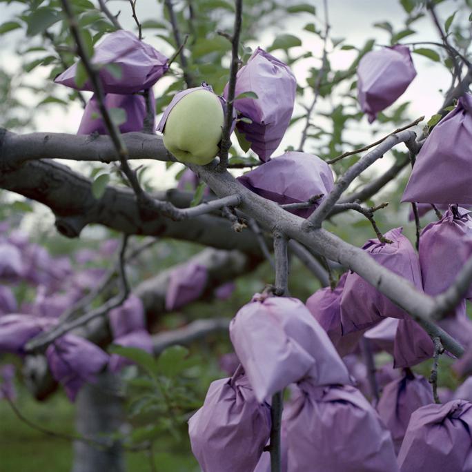 Apples Outgrowing Their Bags, Fall, Aomori Prefecture