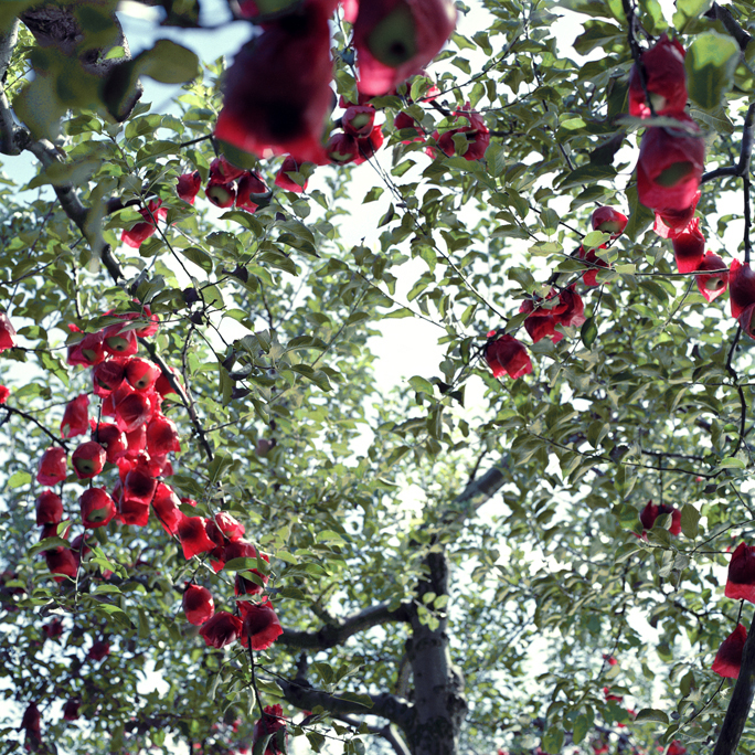 Apples With Red Inner Bags #1, Fall, Aomori Prefecture