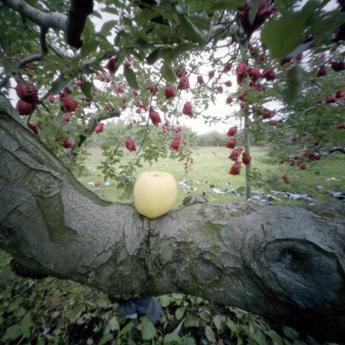 Rejected Apple, Fall, Aomori Prefecture