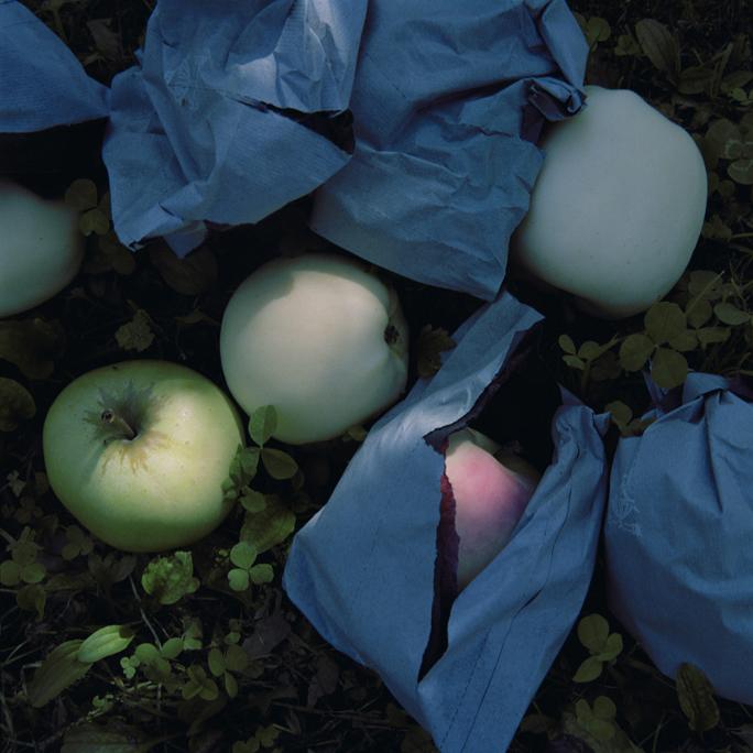 Culled Apples, Fall, Aomori Prefecture