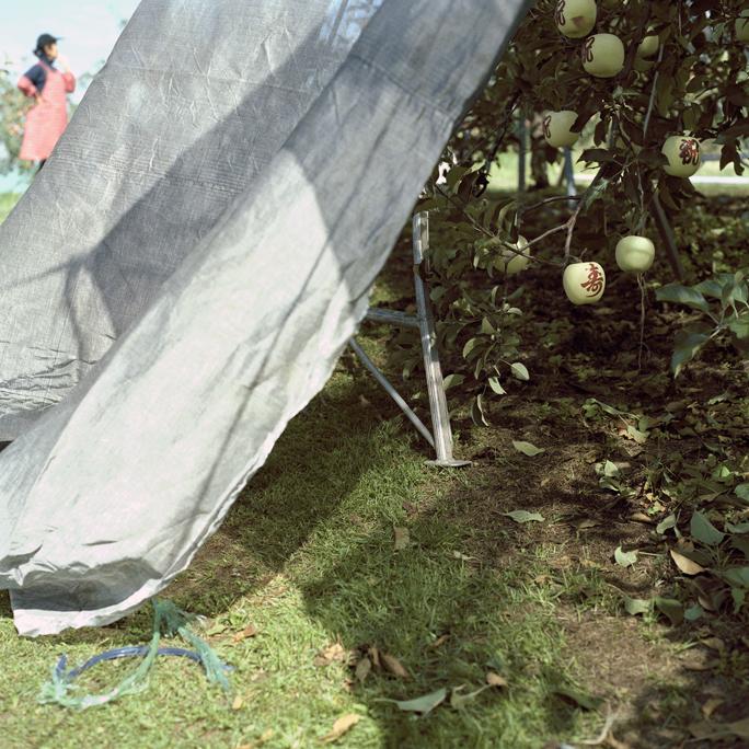 Field Worker & Stenciled Apples, Fall, Aomori Prefecture