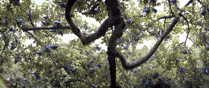 Bagged Apple Tree, Early Summer, Aomori Prefecture