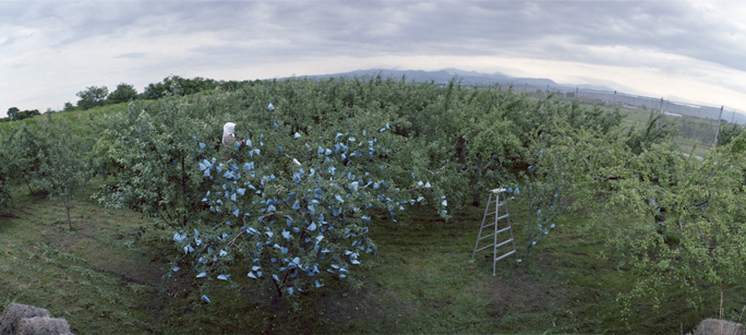Putting Bags on Apples #1, Early Summer, Aomori Prefecture
