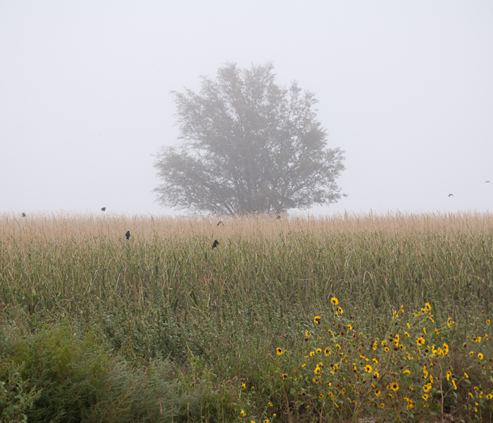 Corn field, Crows and Fog near Windsor, CO