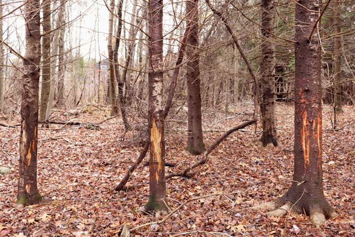 Deer Rubs