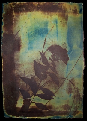 Laura Blacklow, Untitled, from the series Backyard Botanicals, 2008. Cyanotype and van dyke brown print