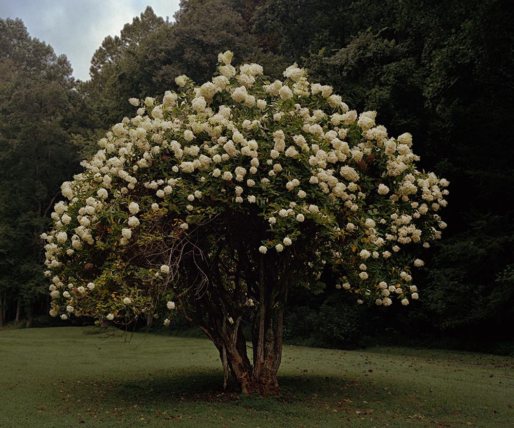 magnolia treeRTP.jpg