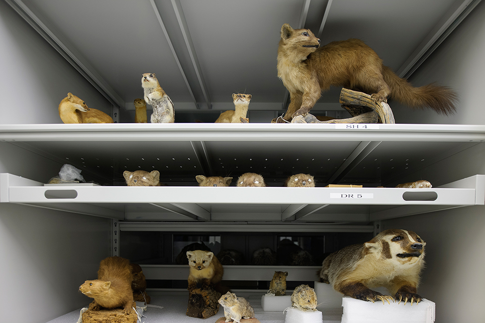 Mustelidae Family in Storage, YNP Museum