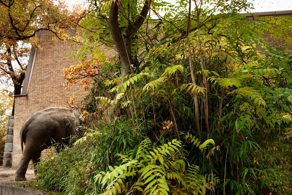 Asian elephant, Berlin