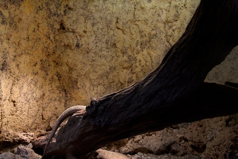 Central bearded dragon, Pistoia