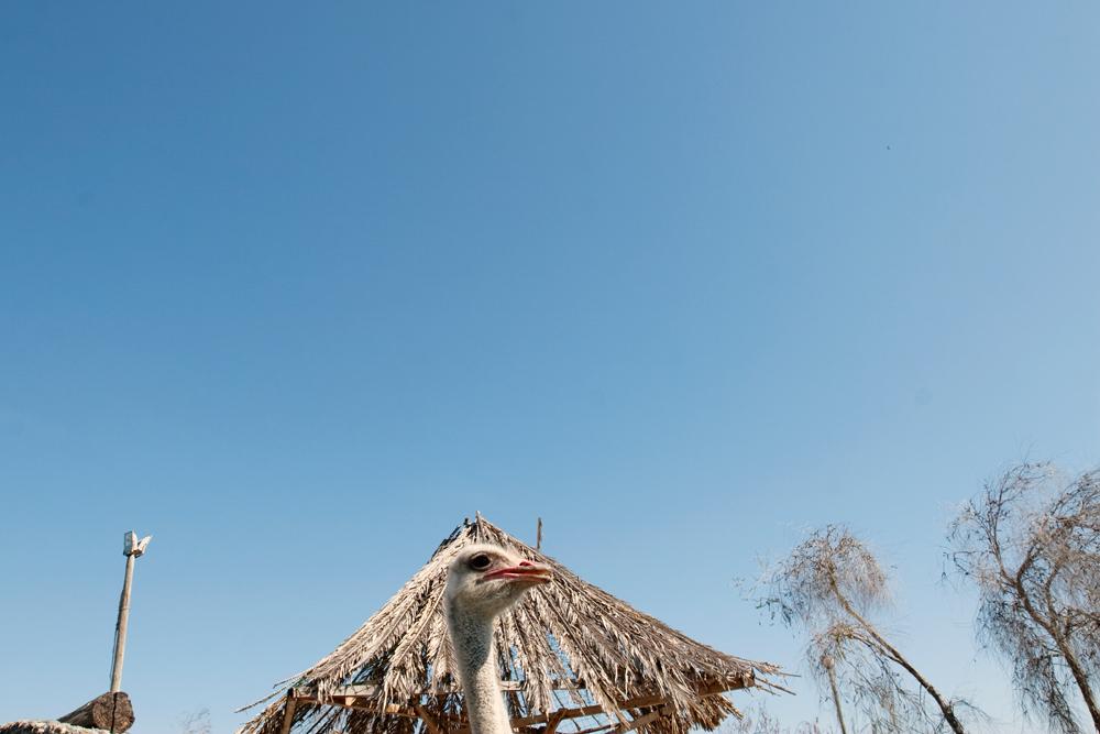 Ostrich, Chieti