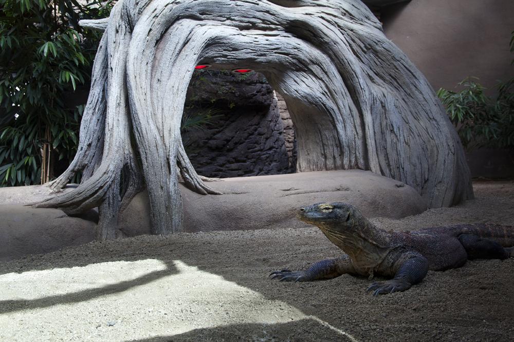 Komodo dragon, Barcelona
