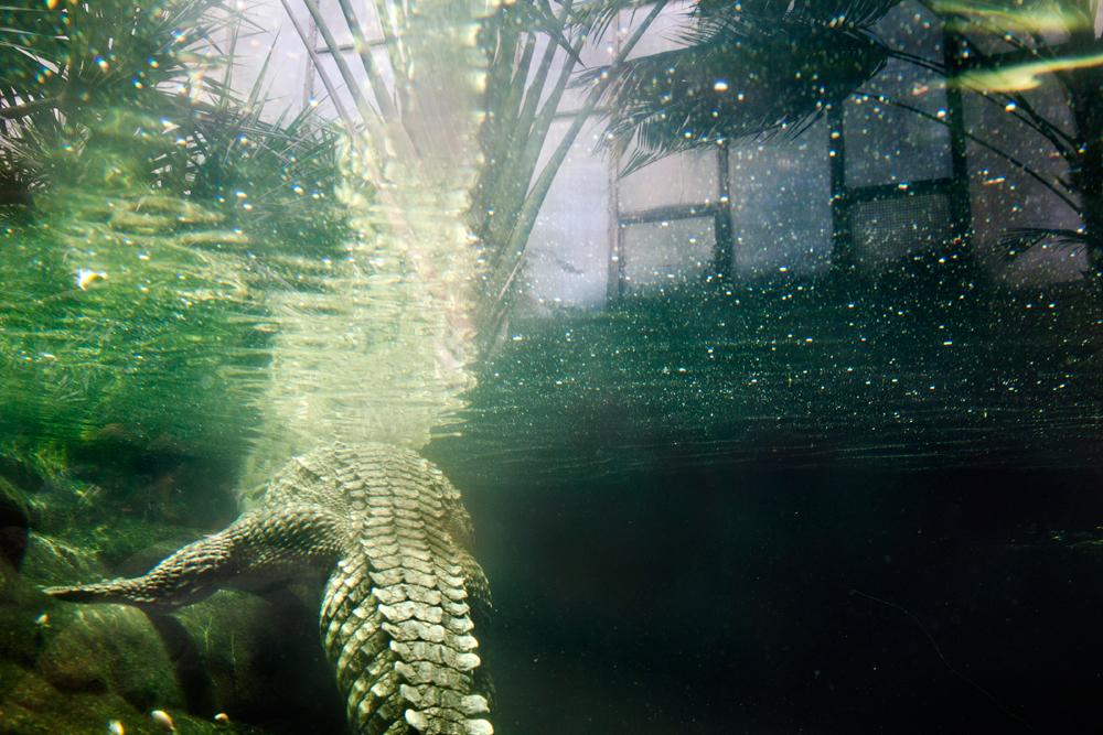 Cuban crocodile, Barcelona
