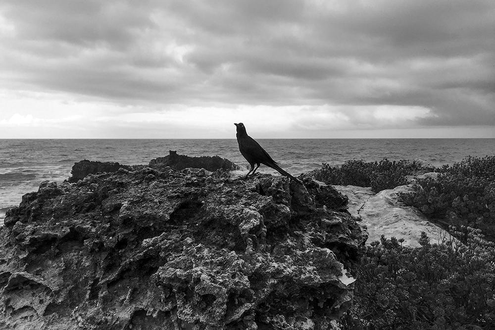 Black Crow on a Rock, Isla Mujeres, Mexico