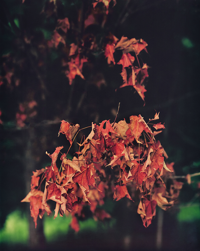 Red Leaves After Rain , 2015