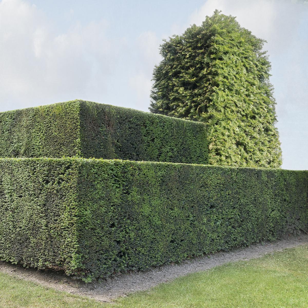 Hedge #65
