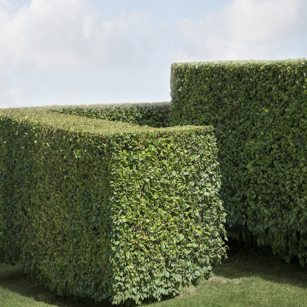 Hedge #50