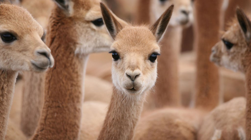 INSIDE THE BUSINESS OF VICUÑA, THE WOOL WORTH MORE THAN GOLD