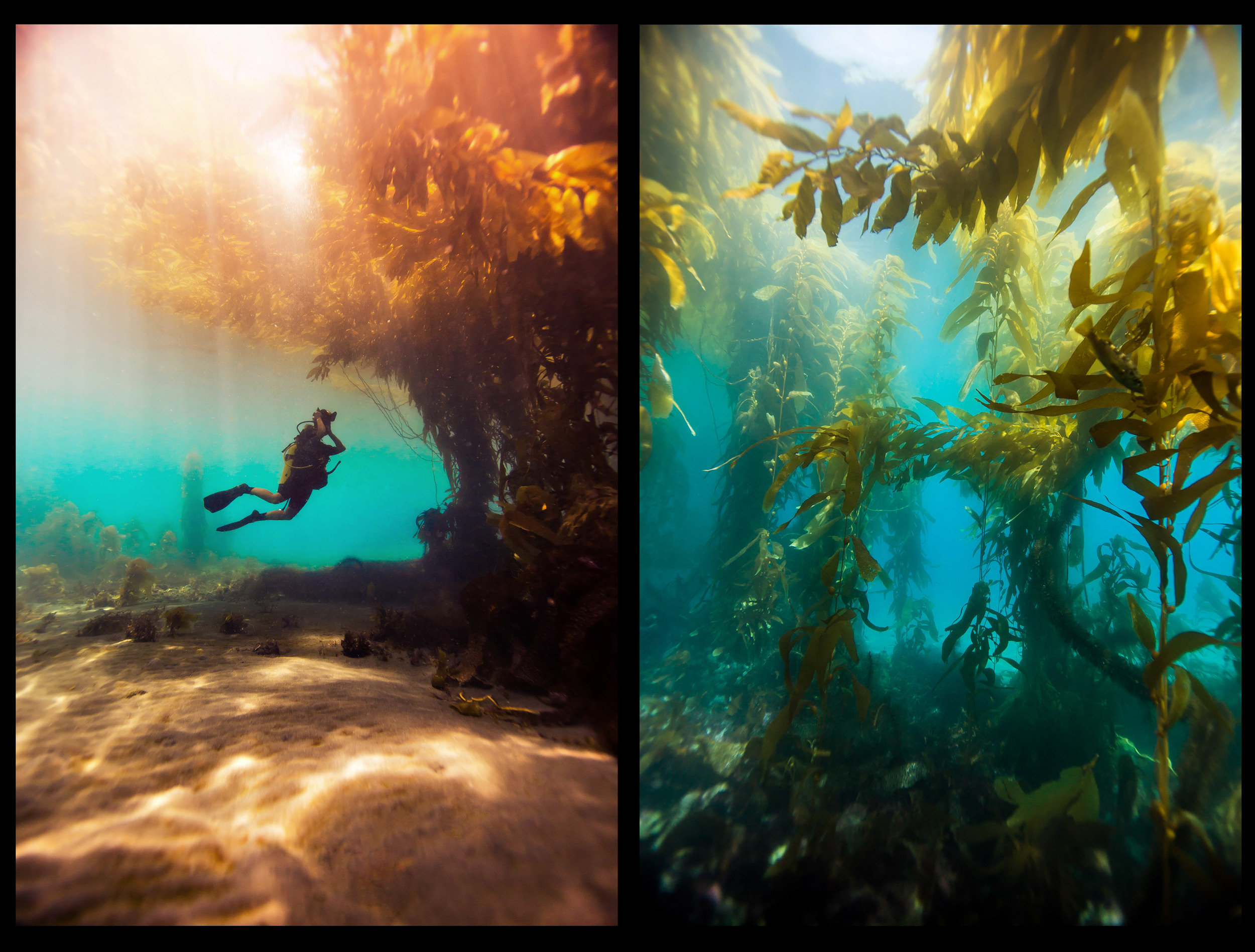 The kelp forest at Anacapa Island, Channel Islands, CA.