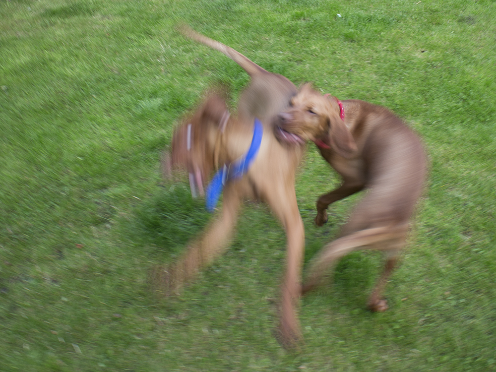 vizsla puppies playingwith mother018.jpg