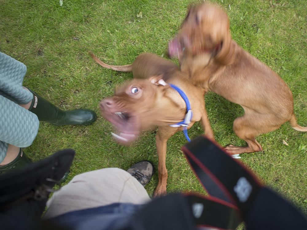 vizsla puppies playingwith mother019.jpg
