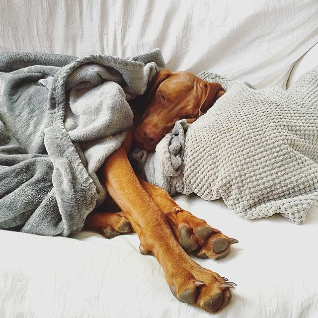 When you think you're up and ready but the lure of being horizontal on the sofa is just the next step in the horrible mess that is a Monday morning 🙈💤 #vizsla #mondaydogface #hungarianvizsla #vizslasofinstagram #vizslagram #vizslaapollo