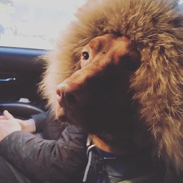 Every morning on the way to daycare #vizslaapollo pulls right the way forward to  the arm rest and uses soppy eyes along with a shiver to guilt @awonderingstar out of her outerwear. Today was hilarious because he's channelling sentiments of big cats 🦁🙈 #vizsla #puppy #hungarianvizsla #vizslagram