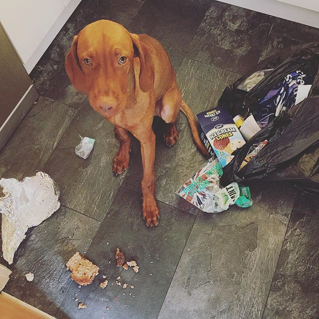 """Erm. Whatever you think this looks like, it's not."" Said #vizslaapollo sheepishly after pulling out a stale pice of leftover banana bread from the bin... #guilty #vizsla #hungarianvizsla #caughtintheact"