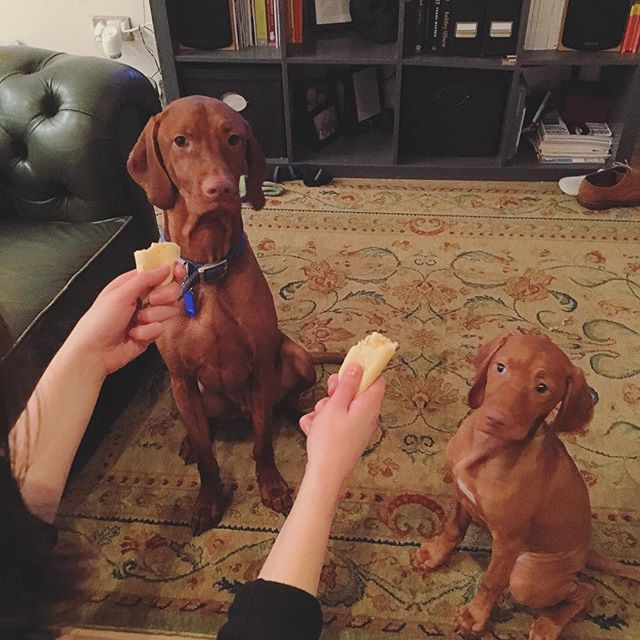 "Pancake temptation avoidance tactics ""don't look at it"" #vizslaapollo and #vizslaaura 🐶🐶 celebrating gluten free pancake leftovers ✌️ #vizsla #hungarianvizsla #puppy #vizslagram"