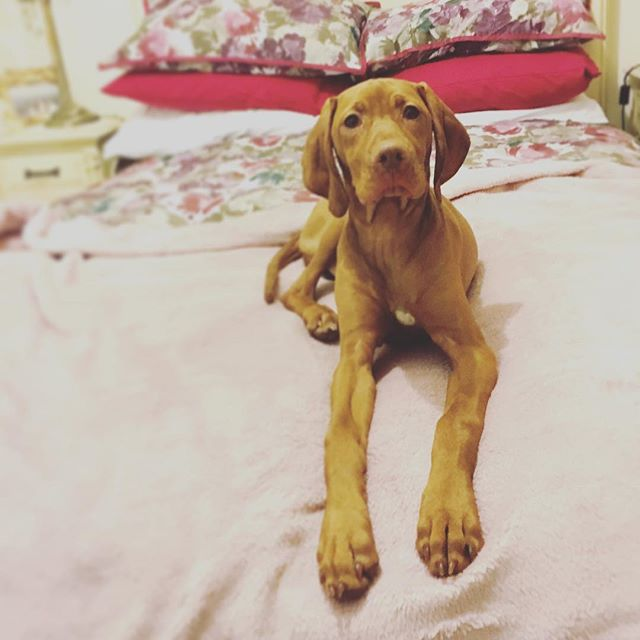 I've decided I'm taking over @dee7uk s bed tonight! @kalice88 so excited to see your face tomorrow! 🐶😍#vizsla #vizslasofinstagram101 #vizslagram #vizslaaura #valentines