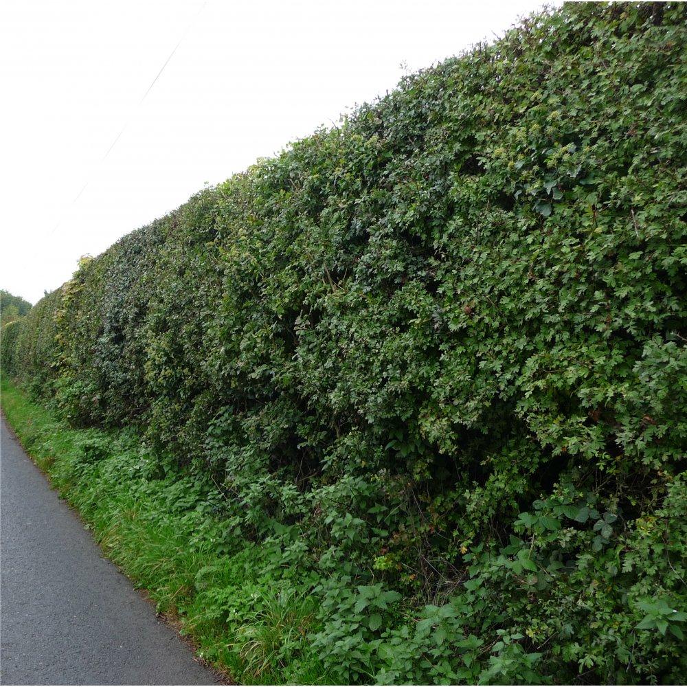 Dorset_hedging_trees_3.jpg