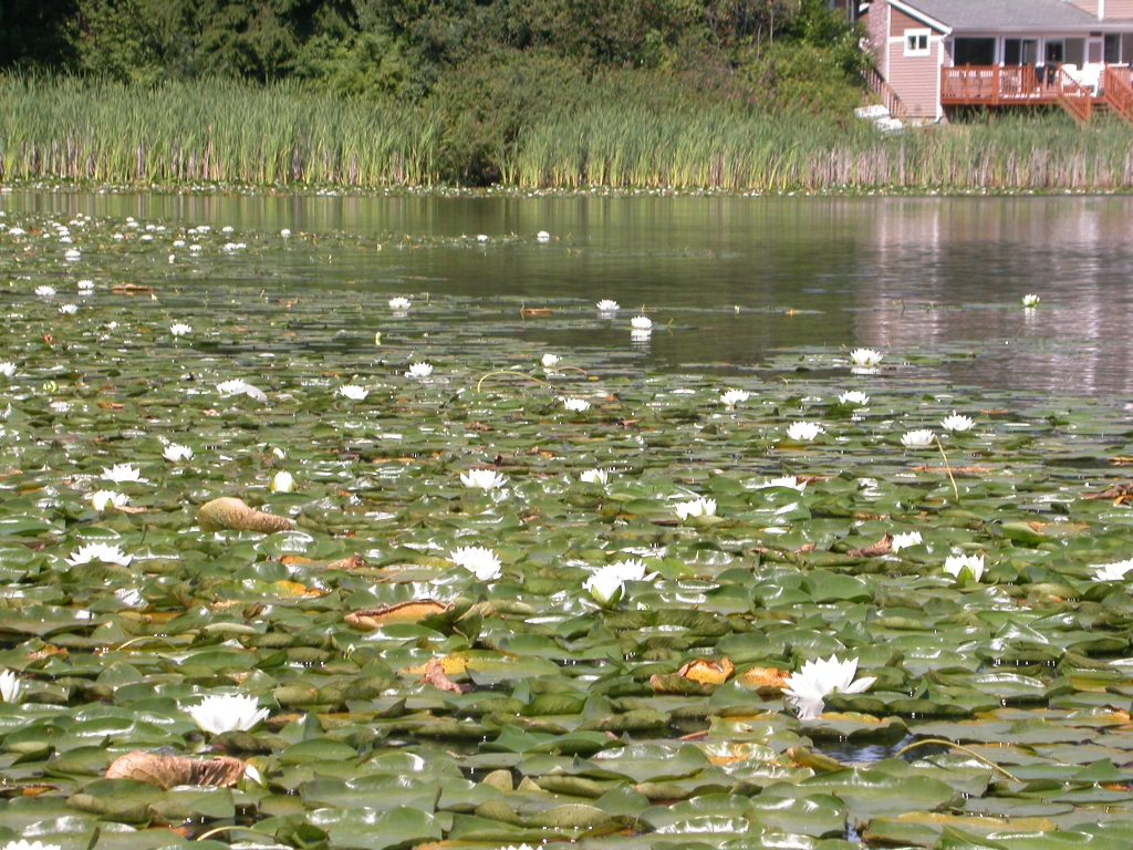 fragrant-waterlily-lake-infest.JPG