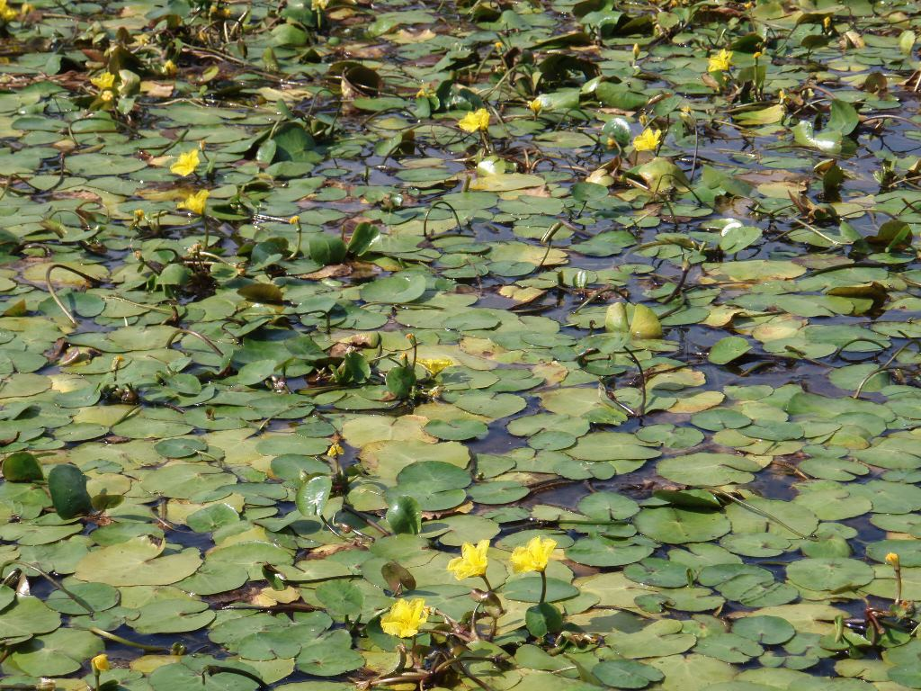 yellow-floating-heart-nymphoides-peltata-plants-in-pond.JPG